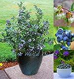 #3: BEAUTIFUL and SWEET Dwarf Blueberry 'Sunshine Blue' Self-fertile HARDY 30 seeds