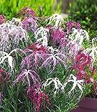 BALDUR-Garten Dianthus