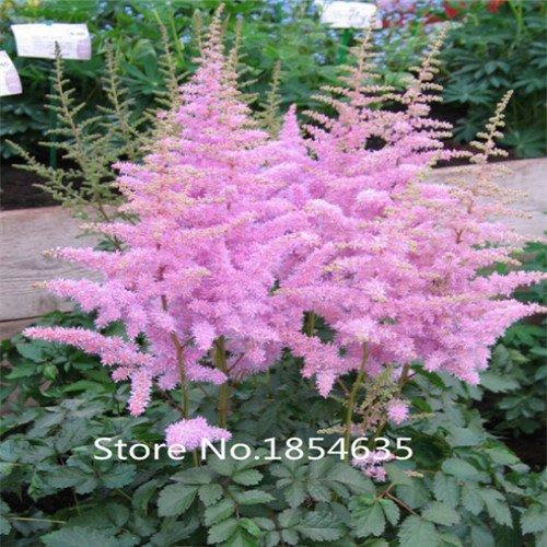 Samen D & # 39; Freilandgloxinie Hochwertige Qualità ¤ t (Fleur de Cottage Rosa)-Werk von Blumen Farbe Unisex Perfekte für Garten D & # 39; Schatten, -