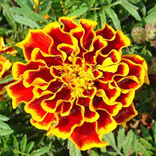 sanhoc rare peacock erba bonsai bonsai da interno crisantemi marigold tagetes fiore pianta in vaso giardino domestico di diy 50 pz: 1