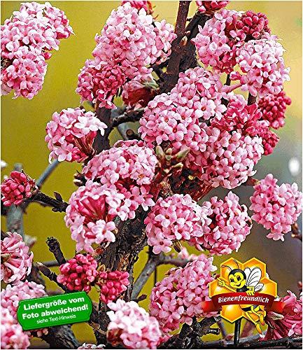 """BALDUR-Garten Duft-Schneeball\""""Dawn\"""" Viburnum bodnantense Winterschneeball 1 Pflanze"""
