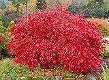 PLAT FIRM GERMINATIONSAMEN: 60 Samen: Roter Spitzenblatt Japanischer Ahorn, Acer palmatum atropurpureum dissectum, Tree Seeds