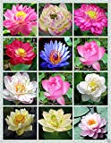 Creative Farmer Flower Seeds : Rare Mix Lotus, 15 Colors Waterlilly Flower Kamal Nelumbo Nucifera 15 Seeds- Winter Season Flower [Home Garden Seeds Eco Pack]