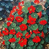 FLOWER NASTURTIUM EMPRESS OF INDIA 140 FINEST SEEDS TROPAEOLUM