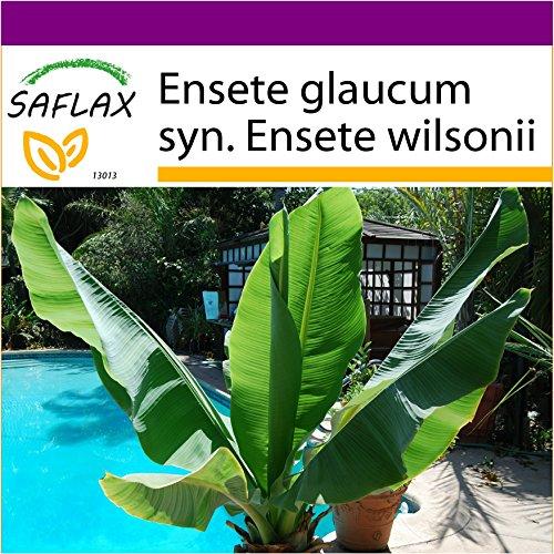 SAFLAX - Big Garden - Große Schneebanane - 10 Samen - Ensete glaucum syn. Ensete wilsonii