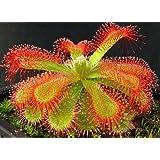 Drosera trinervia - plantas carnivoras - 10 semillas