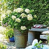 TOM-GARTEN, Gartenpflanzen, Hortensie 'Endless Summer - The Bride  Weiß', 1 Pflanze, ca. 40-50 cm, Blüte bis zum Frost