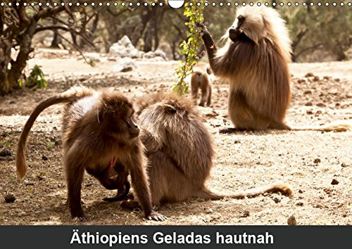 Äthiopiens Geladas hautnah (Wandkalender 2019 DIN A3 quer): Die nur im Hochland Äthiopiens vorkommenden Geladas (Blutbrustpaviane) beeindrucken durch ... 14 Seiten (CALVENDO Tiere)