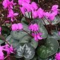 Frühlingsalpenveilchen, rosa, Cyclamen coum von VDG-Stauden - Du und dein Garten