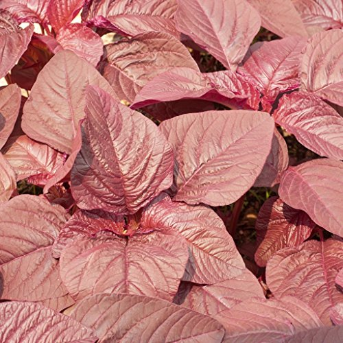 groseeds-vegetable-seeds-amaranth-red-army-v-ori-01-200-seeds-minimum-per-packet