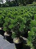 Bosnische Zwergkiefer Malinki - Pinus leucodermis Malinki 25-30cm