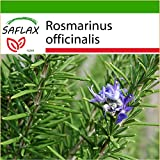 SAFLAX - Romero - 100 semillas - Con sustrato - Rosmarinus officinalis