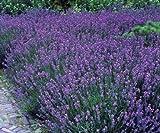 Lavendel Stauden Gartenpflanzen Lavandula angustifolia 5 Stück