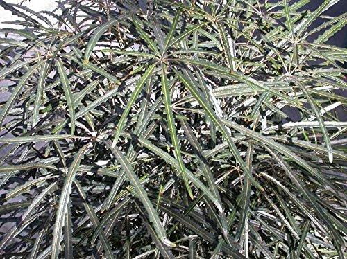5 Samen von Schefflera (Dizygotheca) elegantissima FALSE ARALIA Seeds