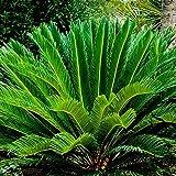 AGROBITS 7977 Cys Palmfarn Leicht wachsende Garten Bonsai-Garten-Dekoration orange