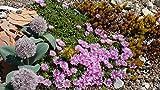 Kakteengarten winterharte Mittagsblume/Delosperma