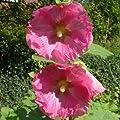 lichtnelke - Stockrose (Alcea rosea) ROSA EINFACH von Lichtnelke Pflanzenversand - Du und dein Garten