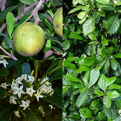 Portal Cool Einheimische Gardenia 'Gelbe Mangostan' (Atractocarpus Fitzalanii) Bush Tucker Seeds