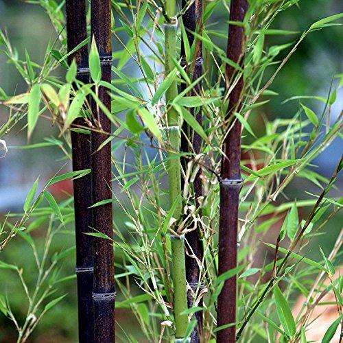 Rare Graines de bambou Noir Superbe Graines de bonsaï pour jardin