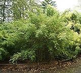 Fargesia murielae Standing Stone® - Robuster Garten-Bambus Standing Stone Preis nach Größe 60-80 cm
