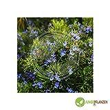 Semillas de hierbas - Romero / Rosmarinus officinalis - Lamiaceae 30 semillas