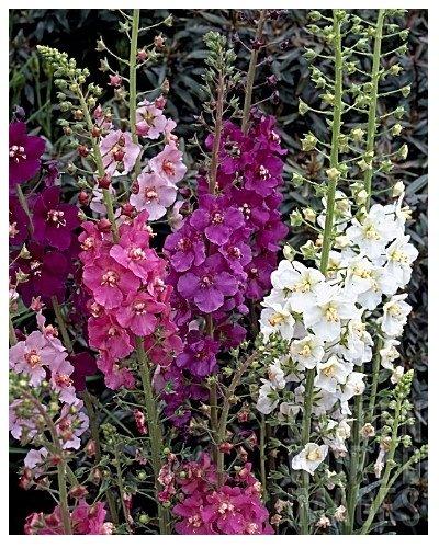 Königskerze Hybrids Mix - Verbascum Phoeniceum - Blume - 400 Samen