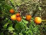 Solanum quitoense 5 Samen (Lulo, Naranjilla,Jurassica)