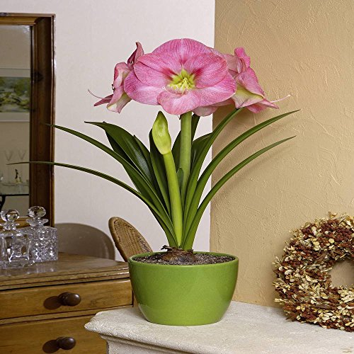 Amaryllis Susan - 1 bulbe de fleur