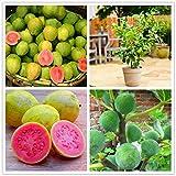 KINGDUO 30 Stk/Pack Guave Seeds Tropisch Süß Obst Baum Pflanzen Samen Für Garten Balkon Innenhof