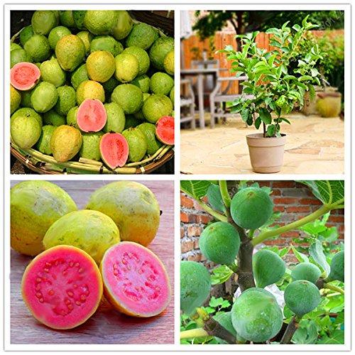 Kingduo 30 pz/pack guava semi frutta dolce tropicale albero piante di sementi per giardino balcone cortile