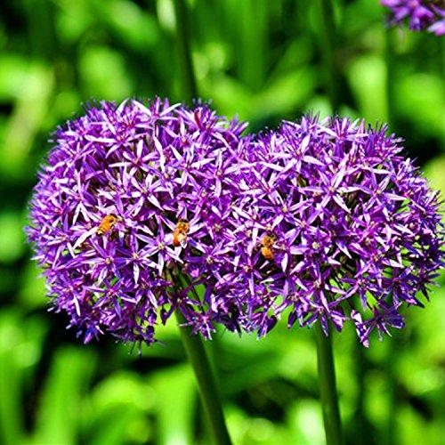 Allium giganteum Oignon gigiant Oignon perse Plante violette Beaux graines de fleurs Cadeau de plante de jardin (200 graines)