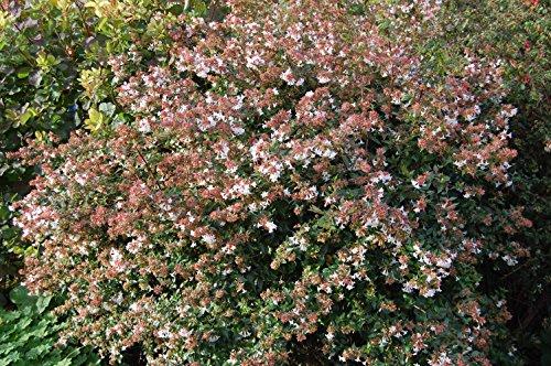 abelia-grandiflora-vaso-11cm-sempreverdi-e-rampicanti