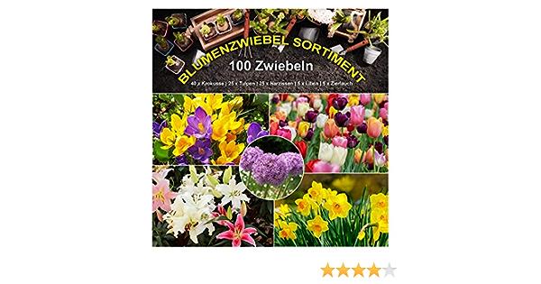 Gr/ö/ße 15//16 Bienen Hummeln Zwiebelblumen Balkon Garten Florado 5x Hyazinthe Blumenzwiebeln `Gipsy Queen` Blumen Schnittblumen