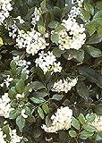TROPICA - Oranger Jasmin (Murraya paniculata syn. exotica) - 12 graines- Magie tropicale