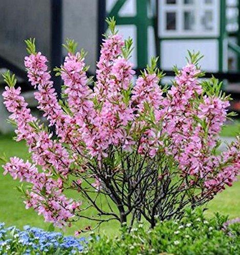 OBI Kübelpflanze, in Klein- und Vorgärten