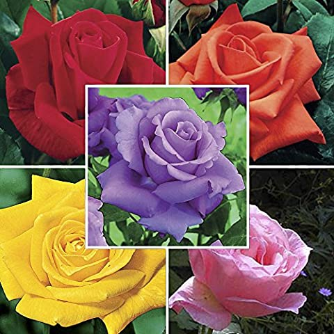 Hybrid Tea Rose Collection (Scented) 5 bare Roots - Mixed Colours (5-)