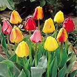Tulipe Darwin Hybride Mixte - 50 bulbes de fleurs