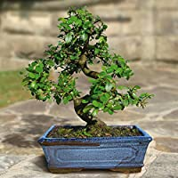 Bonsai Elm parvifolia S Style 9 yr - 1 tree