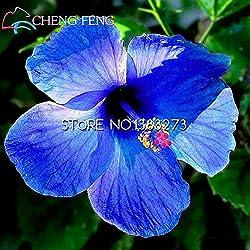 Auf Verkaufs-100pcs Hibiscus Samen 17kinds Hibiscus rosa-sinensis Blumensamen Hibiskus Baum Bonsai für Raum Blumen Topfpflanzen *