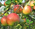 Topaz(S), Winterapfel, Apfel Buschbaum robust ca. 120-150 cm im 10 L. Topf, M 7 von Grüner Garten Shop auf Du und dein Garten