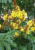 TROPICA - Gelber Flammenbaum (Peltophorum pterocarpum)...