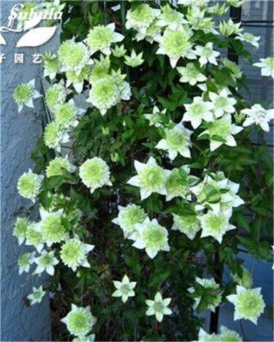 100 Pcs Clematis Graines de plantes Belle Paillage Graines de fleurs Bonsai ou un pot de fleurs vivaces pour jardin Mix 2 Couleurs