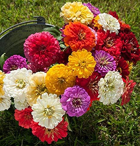 Samen-Paket Nicht Pflanzen: - Seeds: Zinnia Samen Dahlia Flowered Mix - Diese Mischung hat eine große Auswahl an vielen Farben !!!! -