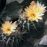Notocactus mammulosus seeds