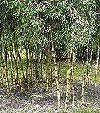 15x Chusquea culeou echte Bambus Rarität Samen Pflanze Garten Frisch B933