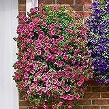 200 semillas de la herencia colgantes petunia mezclado de los gérmenes ondas del color Cesta colgante de la petunia Flores hermosas Ilumine su jardín Claro