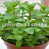 Foliage plant seeds Mentha citrata, herb...