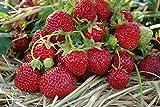 erdbeerpflanzen senga sengana - Vergleich von