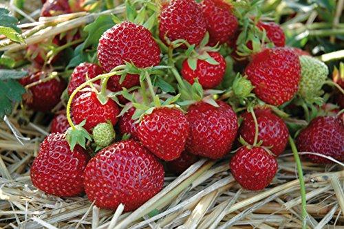 Erdbeere Farbe