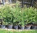 Berg - Mammutbaum (Sequoia. gigantea) Pflanze 5 Jahre von Seedeo bei Du und dein Garten